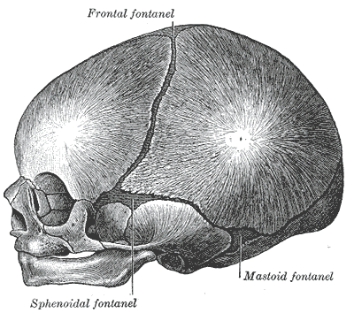 Infant skull at birth, showing the lateral fontanelles. Gray's Anatomy Public Domain