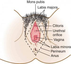 medical illustration of the vagina
