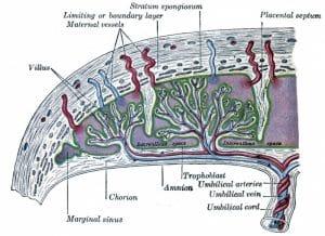 A medical illustration showngHuman Chorionic Adrenocorticotropin (hCACTH)