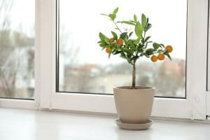 A picture of a small fruit tree sitting by a window.